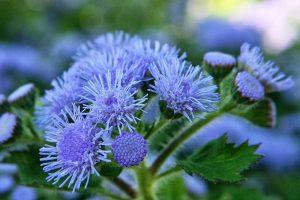 fleurs d'agérate