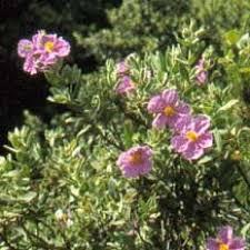 fleurs de ciste