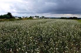 fleurs de blé noir