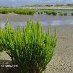 DOSSIER COLLECTION: la Salicorne actif du bord de mer!